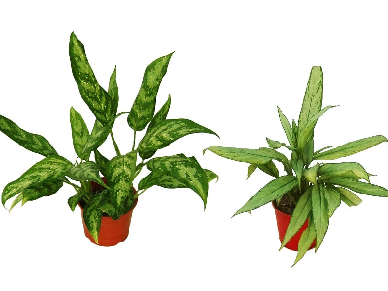 Aglaonema Communtarum o Silver Queen,