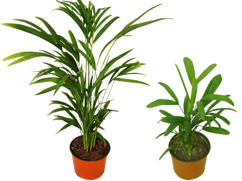Areca, Dypsis lutescens, Palmera Bambu Madagascar, Rafis, Palmera China Tronco peludo, Rhapis Excelsa