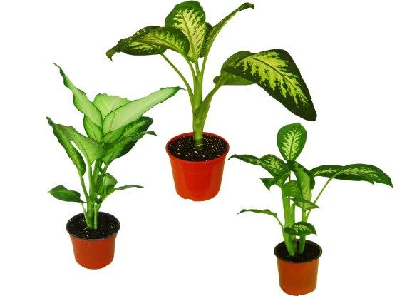 Dieffenbachia, Mariana, Tropic, Alex