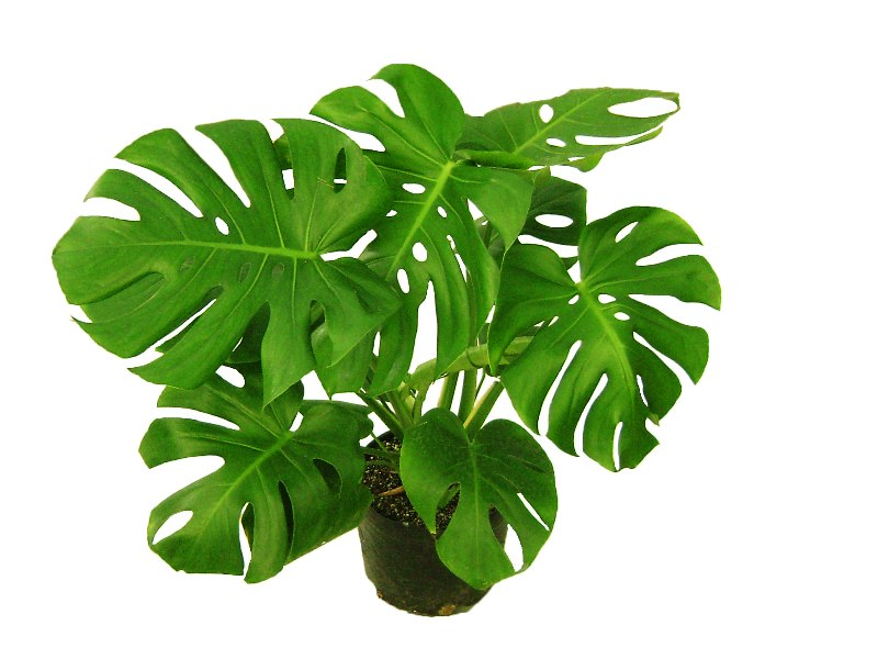 Sandalia - Costilla - Monstera Deliciosa - Maceta 4 lt