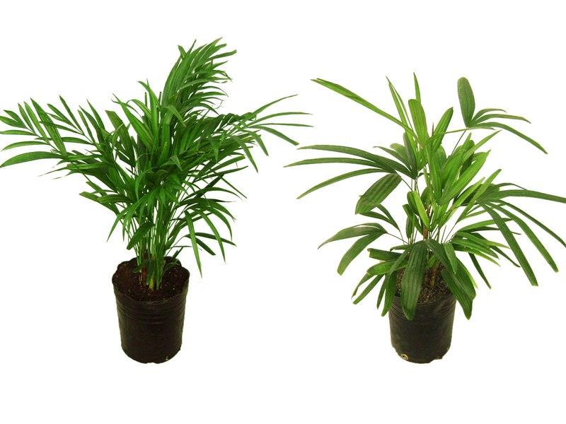 Areca, Dypsis lutescens, Palmera Oro, Palma Bambu, Rafis, Raphis Excelsa