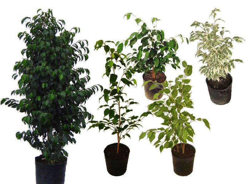 Ficus Benjamina, Blanco, Negro, Verde, Variegado